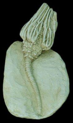 "Crinoid : Finish: Antique Aged finish Dimensions: 5"" (13 cm)"