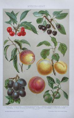 1895 STEINOBST Original Alter Farbdruck Druck Antique Print Lithographie Obst | eBay