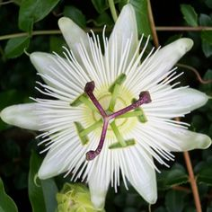 Passiflora caerulea 'Constance Eliott' - Passiflore grimpante blanche a beautiful unique tropic flower :)