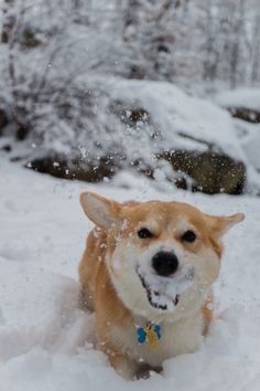Mouth full of snow!  Corgis gonna Corg.