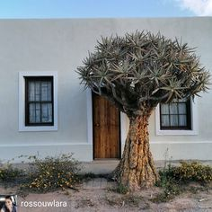 The 'Nagmaalhuisie' is one of many historic buildings in Vanrhynsdorp. Smaller homes were used for overnight stays by farmers and their families that came from far to attend communion services hence the name. . . . #heritagemonth2020 #visitnwc #discoverctwc #weskus #visitsawinelands #thisissouthafrica #vanrhynsdorp . . Reposted from @rossouwlara Beautiful Q-U-I-V-E-R-T-R-E-E. . Smaller Homes, Heritage Month, Communion, Farmers, Being Used, West Coast, Families, Buildings, Plants