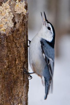White-breasted Nuthatch | by Dan Demczuk