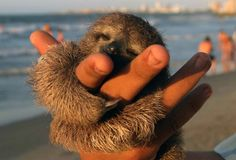 What's better than a sloth giving you a hug? A baby sloth giving you a hug