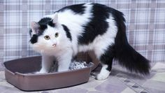 Cats quit using their litter boxes for a variety of reasons. Here's how to get to the bottom of the problem and get your feline friend back into the litter box. Chat Male, Lorie, Sick Cat, Pet Clinic, Animal Clinic, Cat Pee, Kitten Care, Cat Behavior, Cat Health