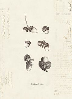 Selection of Acorns