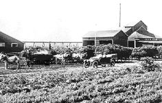 'Mint in Michigan' - an interesting story of how mint was introduced into Michigan, grown, cultivated, and distilled into mint oil in the 1800's.