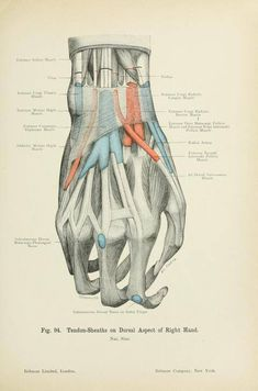 """spectacularuniverse: """" Tendon sheaths on the dorsal surface of the hand from 'Atlas of applied (topographal) human anatomy' by Dr. Karl von Bardeleben and Dr. Heinr. Haeckel, 1906. """""""