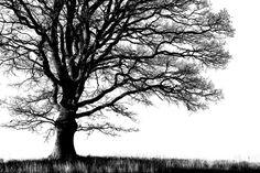 Alone Tree - b/w - Wall murals - Photowall