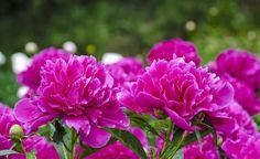Pfingstrosen: Die Rosen des Frühlings -  Pfingstrosen haben schon früh die Sammelleidenschaft und den züchterischen Ehrgeiz der Gärtner geweckt: Aus etwa 33 bekannten Arten ist im Lauf der Jahrhunderte eine schier unüberschaubare Sortenvielfalt entstanden.