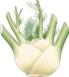 another fennel image