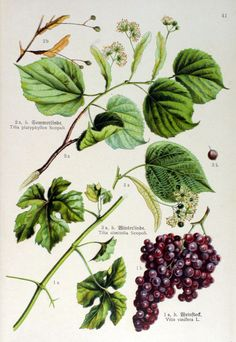 img/gravures anciennes de fleurs/gravure couleur ancienne de fleur - Vitis vinifera; Tilia platyphyllos; Tilia ulmifolia.jpg