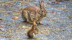 cottontail friends with baby red squirrel https://www.youtube.com/watch?v=oL5dVbRuc7A&t=18s