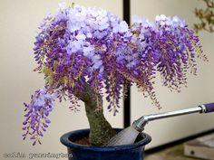 purple Wisteria in a pot (love this idea)