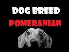DOG BREED - Volpino di Pomerania - Pomeranian [ENG] - http://www.doggietalent.com/2014/11/dog-breed-volpino-di-pomerania-pomeranian-eng/