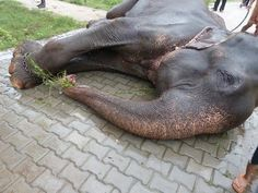 India: Elephant Raju Cries Copious Tears on Rescue from 50 Years of Torture Racing Extinction, Beautiful Creatures, Animals Beautiful, Cute Animals, Cane Corso, Sphynx, Chinchilla, Wild Life, Rottweiler