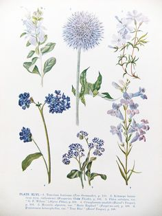 VIntage Botanical Illustrations from 1930s book by peonyandthistle, via Flickr