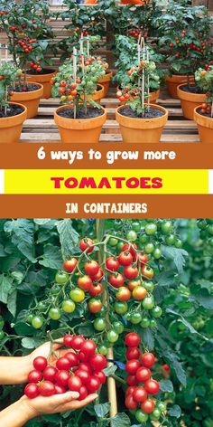 Doing some organic gardening is ideal and these tomatoes gardening tips are some of the best you will come across. Growing tomatoes in pots is ideal if you are suffering from limited garden space. If you are into the hobby of home gardening or Indoor Vegetable Gardening, Home Vegetable Garden, Hydroponic Gardening, Hydroponics, Organic Gardening, Urban Gardening, Hydroponic Growing, Vertical Vegetable Gardens, Vegetable Planters
