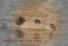 Beaver at the lake