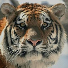 The Tiger Inside Beautiful Cats, Animals Beautiful, Animals And Pets, Cute Animals, Wild Animals, Exotic Animals, Majestic Animals, Tiger Photography, Cats Outside