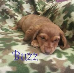 Buzz is an adoptable Dachshund Dog in Houston, MO. BUZZ DoxieMix Male BABY Hello my name isBuzz, I am8 weeks old.Our momma was brought to the shelter as a stray, the shelter allowed her to have h...
