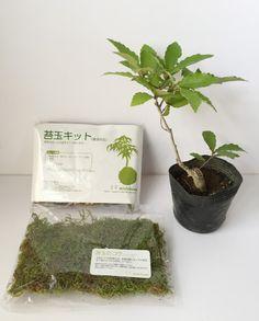 苔玉作製キット コナラ苗木セット
