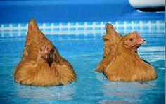 Können-Hühner-schwimmen-3