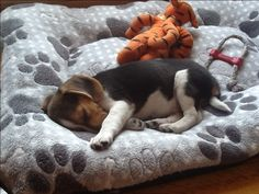 Interesting Beagle Friendly Loyal And Loving Ideas. Glorious Beagle Friendly Loyal And Loving Ideas. Cute Beagles, Cute Puppies, Cute Dogs, Dogs And Puppies, Doggies, Animals And Pets, Baby Animals, Cute Animals, Softies