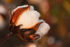 Cotton Boll - Taken on Hwy. 49 in the Mississippi Delta by Judy Rushing