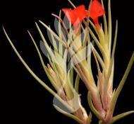 Tillandsia Species