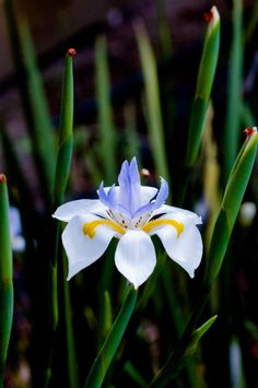 Native Iris Flower