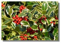 Identifying Types of Holly Trees