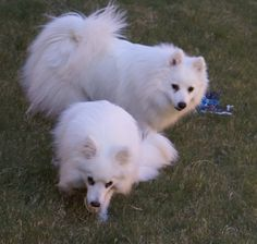 Japanese Spitz temperament is exclusive. The breed is very spirited and intelligent. They usually show playful character traits and stay alert.