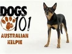 Dogs 101- Australian Kelpie