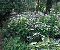 Mountain Hydrangea   Bloom IQ