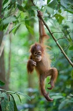 Baby Orangutan hanging from a tree on its own