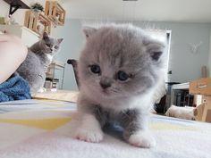 Aloïze #lovecats #catsandcolours #catloverclubs #britishshorthair #fluffy #roomie #bestoftheday #bestmommy #crazycatlady #petlover #craftlover #petstagram #leuven #pets 🐾🐨🤗💕