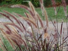 Christy landscaping on pinterest landscaping nurseries for Ornamental oat grass varieties