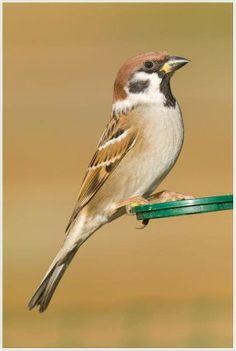 Vogelbescherming Nederland: Ringmus Foto: Erwin Bruulsema