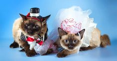 Have you ever dressed your cat in an adorable sweater, a stylish jacket, or even a silly Halloween costume? A great many pet parents have tried to play dress up with their four-legged friends. Sure, most cats don't need to wear clothes. There are exceptions, of course – the hairless breeds regularly wear them to […] The post 5 Themed Costume Ideas for Your Cat appeared first on The Catington Post. Unique Costumes, Pet Costumes, Disney Costumes, Cool Costumes, Costume Ideas, Halloween Kostüm, Halloween Costumes, Cat Superhero, Living With Cats