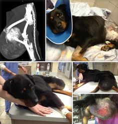 WONDERFUL NORMAN!  BEAUFORT, SC........NORMAN is a very special 7 year old Shepherd Mix that was abandoned on the side of the road in Beaufort, SC.  He was seen dragging a massive Tumor that we eventually found out weighted 12 pounds once it was removed.