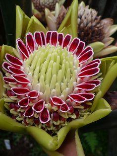 Ginger Flower, Royal Botanic Garden Edinburgh