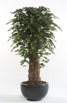 Braided Hibiscus Tree I Am Getting One Of These Tomorrow Flower Garden Pinterest