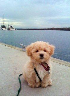 @미미 ♡ Overloads: Goldendoodle puppy