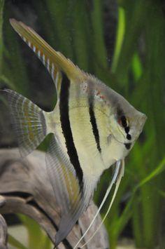 Eimekeis  foto's van maanvis soorten | Discus & Maanvissen | Het Nederlandstalig AquaForum