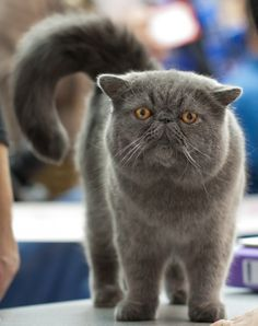 exotic shorthair cat, this is the kind of cat that i want!!! I blame cats vs. dogs