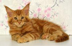 Котенок мейн кун Montaro Deniel