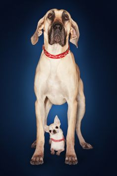 The best pet photos capture the natural personality and beauty of the animal itself. Here's 5 ideas help you get the most out of photographing these creatures. Mastador Dog, Cavoodle Dog, Dog Photos, Dog Pictures, Pappillon Dog, Koolie Dog, Kangal Dog, Borzoi Dog, Dog Accesories