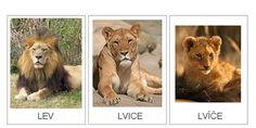 Lion, Animals, Leo, Animales, Animaux, Lions, Animal, Animais