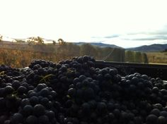 Mmm... the promise of a good vintage for 2014 at 8 Ranges Wines in Central Otago.