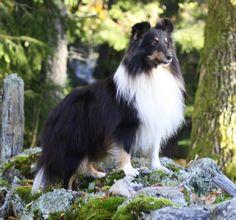 Gorgeous Tri Sheltie Cairn Terrier, Scottish Terrier, West Highland White, Shetland Sheepdog, White Terrier, Like Animals, Border Collies, Rainbow Bridge, Sheltie
